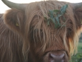 20 Mull vache